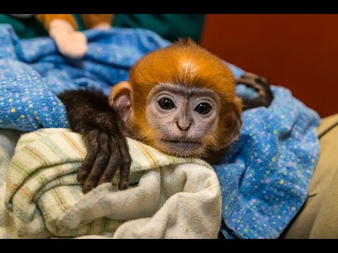 Endangered Langur Baby Gets a Helping Hand