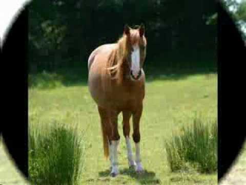 Shantih, My Dream Chestnut Arabian Mare