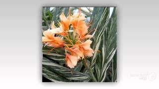 Hedychium - garden plants