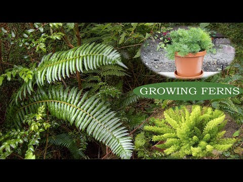 How To Grow Ferns Ornamental Plants Growing Ferns Youtube