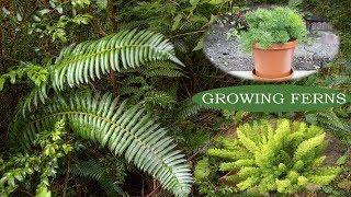How To Grow Ferns - Ornamental Plants - Growing Ferns