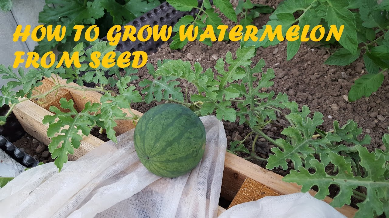 How To Grow Watermelon From Seed You