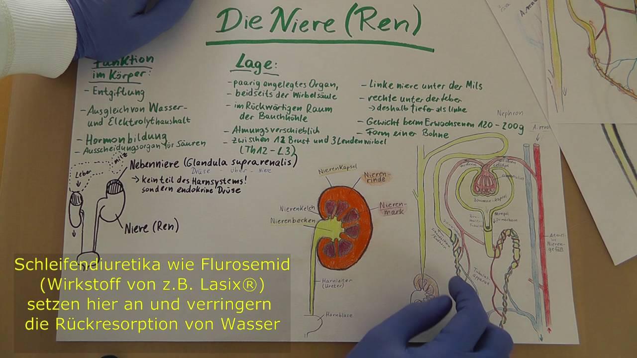 Niere & Nephron Wiederholung (Anatomie & Physiologie) Wissen für ...
