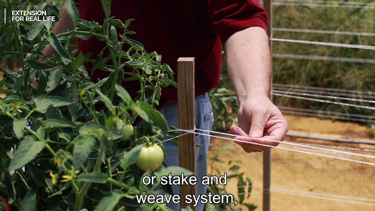 Quick Tips for Growing Tomatoes