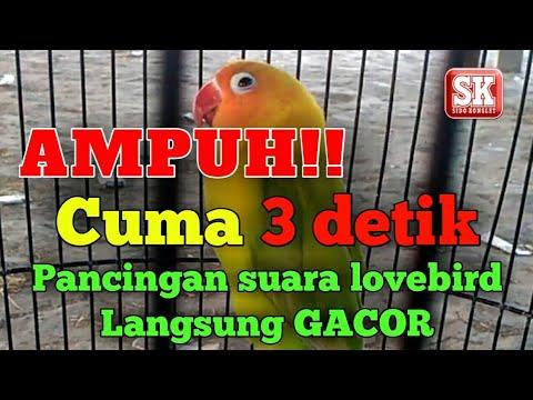 AMPUH !!! Pancingan suara lovebird ngetik ngekek langsung gacor