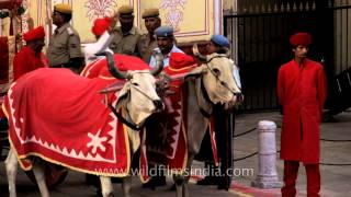 Bulls wear red coats and pull carriage in full regalia - only in India!