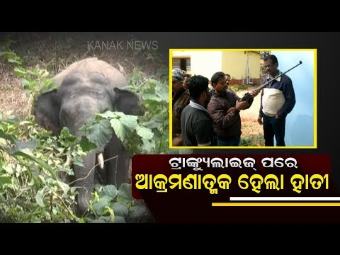 Special Team Failed To Tranquillize Injured Elephant In Sundergarh: Exclusive Video