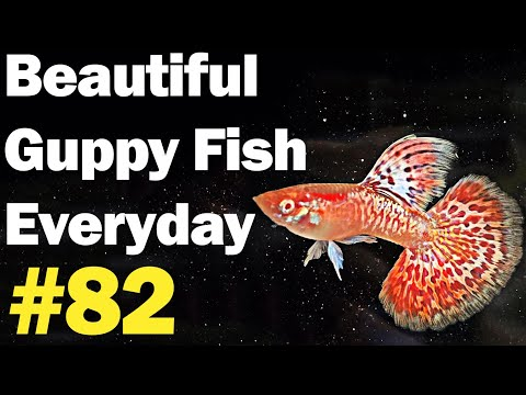 guppy-channel---beautiful-guppy-fish-everyday-#82