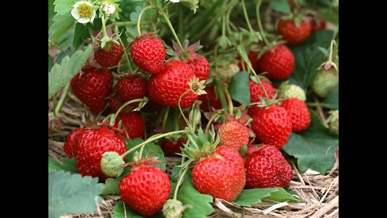 How to grow strawberries 24