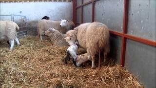 Lambing live Part two Bryn Crach Farm