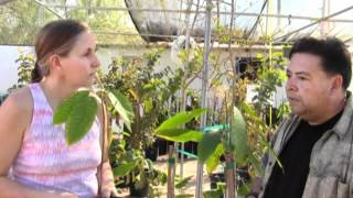 Growing The Ultimate Aphrodisiac (chocolate) With Marjory Wildcraft