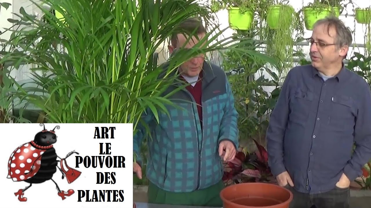 Soigner Un Palmier D'intérieur Gardening Tips How To Do Maintenance And Watering Of Palm Chrysalidocarpus Lutescens Green Plant