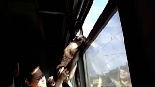 Кот выглядывает из окна электричке на ходу