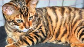 Тойгер  это одна из самых экзотических и дорогостоящих пород кошек в мире