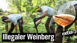 Der Reale Irrsinn: Weinberg in Celle wird platt gemacht