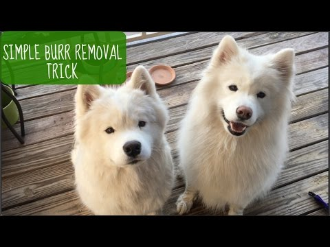 How To: Easily Remove Burrs from Dog Fur (Shown on Samoyeds!)