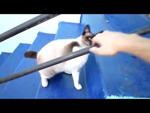 Siamese cat vs my hand