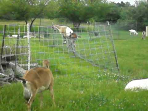 Goat Jumps Fence Youtube