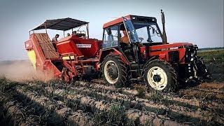 Kopanie ziemniaków / Zetor 3340 & Grimme