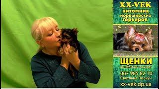 Щенки йоркширского терьера в 60 дней и уход за собакой
