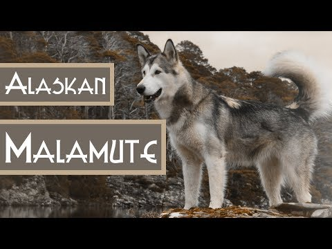 ALASKAN MALAMUTE - May I introduce myself?