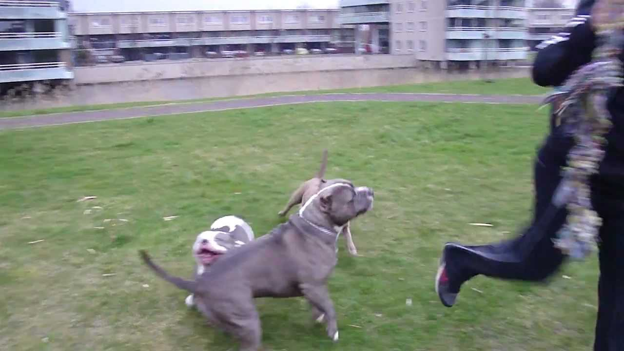 THE GIANTS PLAYING ( X... Xxl American Bully Puppies