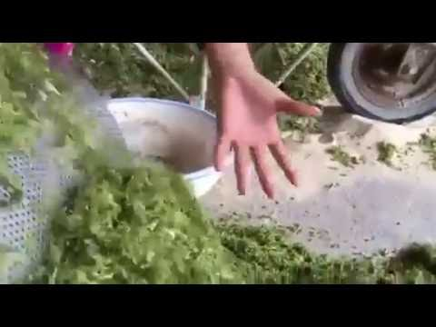 ORGANIC GREEN SEAWEED- ULVA LACTUCA FOR ANIMAL FEED