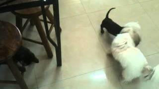 Puppy Dachshund X Shih-tzu X Cat ( Roud Iii)