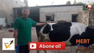 Büyükbaş Hayvanlar İçin Mideye Mıknatıs Atma Uygulaması Veteriner Hekim Ahmet Mert