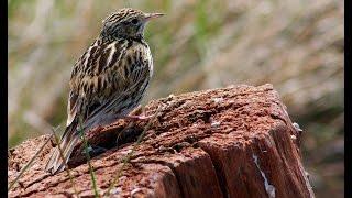 Aves y algún camélido de la Patagonia Sur - Octubre 2015