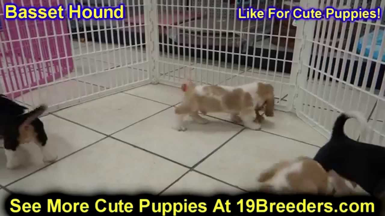 Basset Hound, Puppies, Dogs, For Sale, In Las Cruces ...