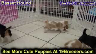 Basset Hound, Puppies, For, Sale, in, Mobile, County, Alabama, AL, Huntsville, Morgan, Calhoun, Etow