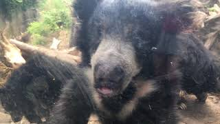 Sloth bear cub loves the camera