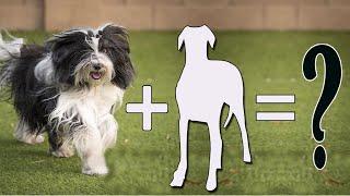 8 Most Popular Tibetan Terrier Mixes / Tibetan Terrier Cross breeds
