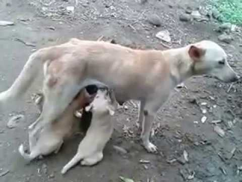INDIAN PARIAH DOG  NURSING  PUPPIES thumbnail