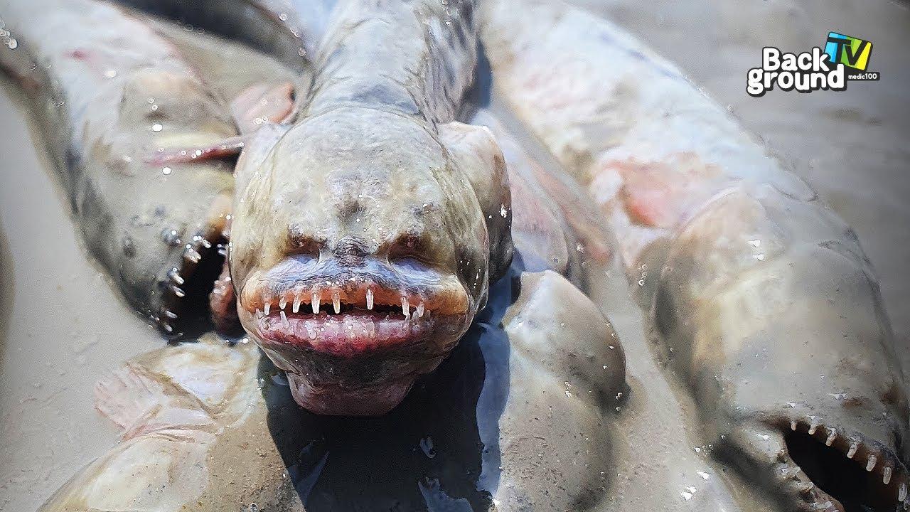 우리나라 갯벌에서 발견된 이 생물은 방사능에 피폭된........ 생물이 아닙니다. 망둑어 최종진화형, 이름도 괴기스러운 개소겡을 키워볼까?