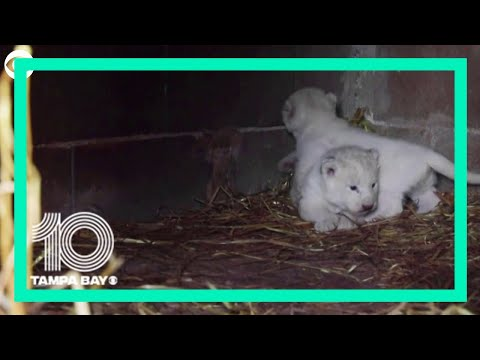 White Lion Cubs Play At Cyprus Zoo