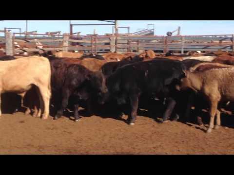 120 Maranoa Downs Steers  Mitchell Qld