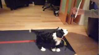 Clever 8 Week Old Portuguese Water Dog Puppy Training