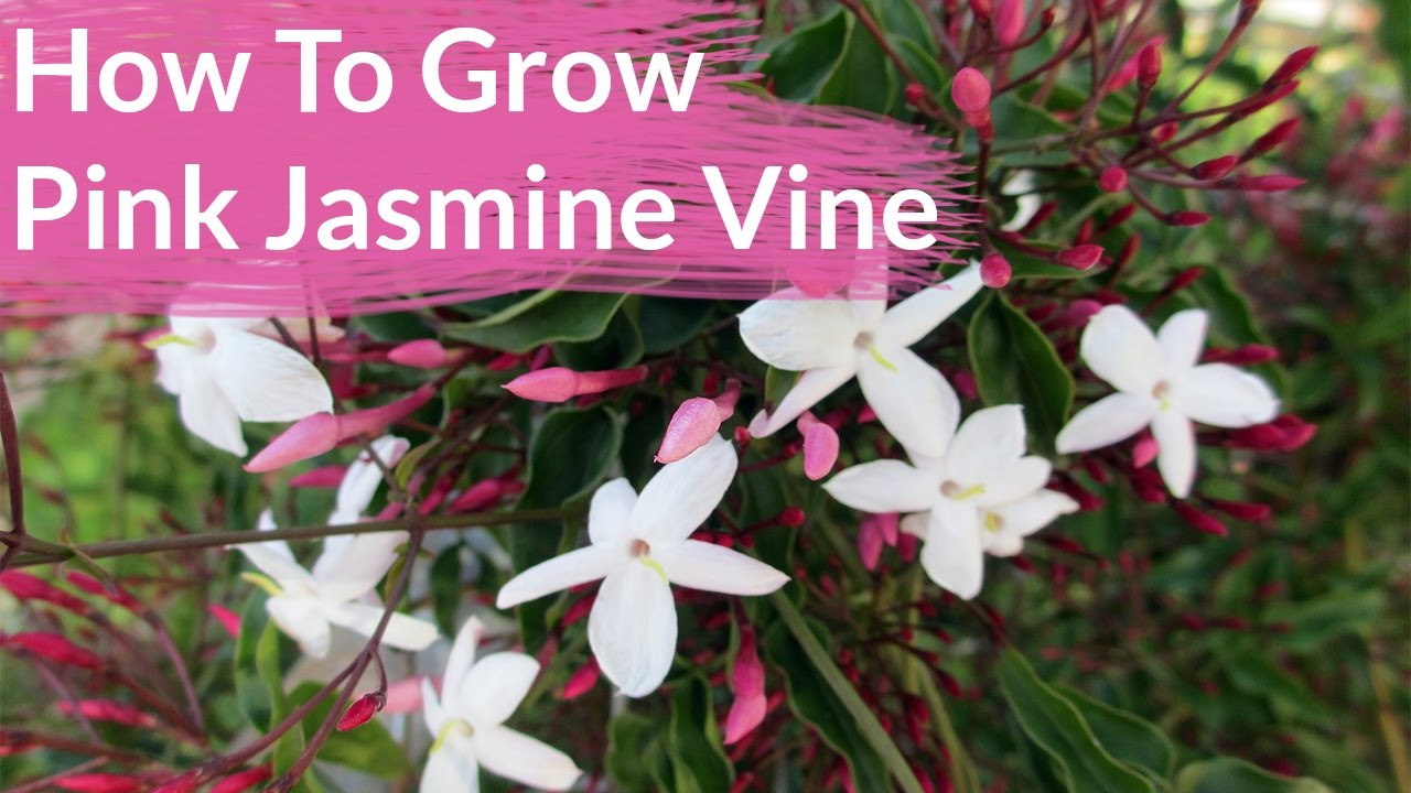 How To Grow Pink Jasmine Vine; Jasminum Polyanthum / Joy Us Garden House Plant Vine With Pink Flowers on vine plant red flowers, vine plants identification, vine mandevilla plant care, vine plant purple flowers, vine plant with berries, puncture vine with pink flowers, weeds with pink flowers, vine with small pink flowers,
