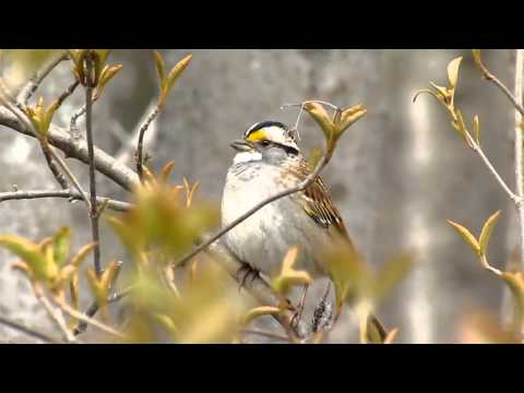 White-throated Sparrow Song
