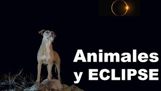 Reacción de Animales a Eclipse Solar 2019