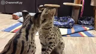 Кот пристаёт к кошке