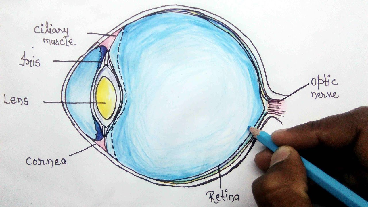 How To Structure Of Human Eye Step By Step For Beginners Youtube