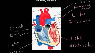 The Circulatory System - label heart