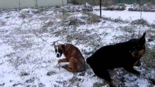 Boxer Vs.  Rottweiler.mp4