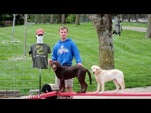 Labrador Retriever Training - How to work with two puppies at the same time