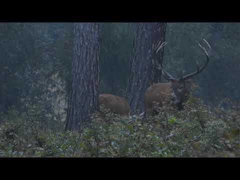 Jelen s laněmi - Videolovy - Life in nature