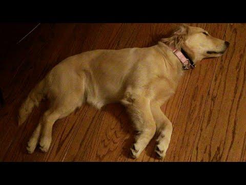 6-Month Old Golden Retriever Puppy Has Puppy Dreams