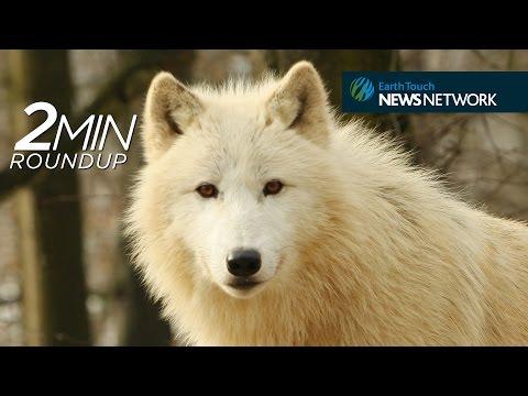 Dragon blood, sawfish mating & Yellowstone's white wolf